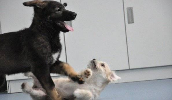 China clona a un súper perro policía