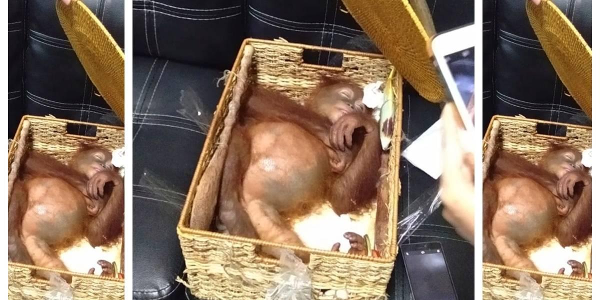 Descubren a hombre intentando contrabandear un orangután que había sedado con pastillas y leche