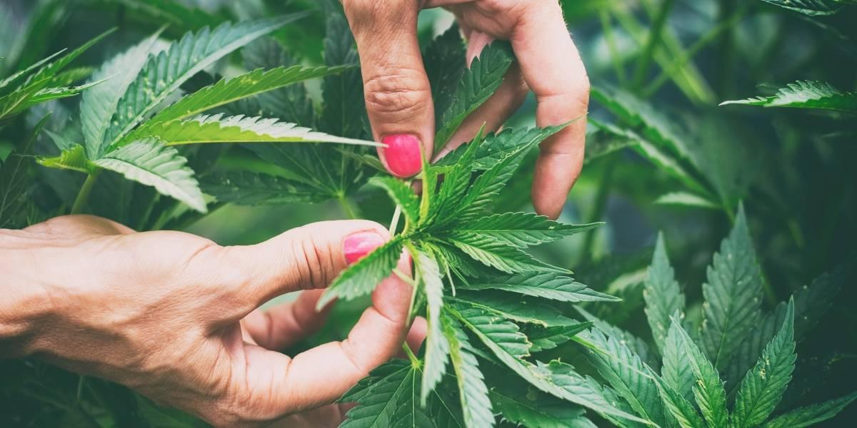 Cannabis: Castigo con receta médica