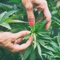 Acuerdan legalizar venta de marihuana recreativa en Nueva York