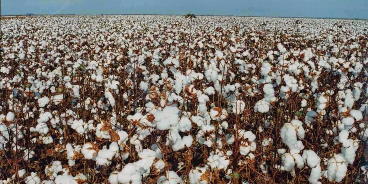 Solo el 1% de la producción de algodón se hace 100% libre de químicos