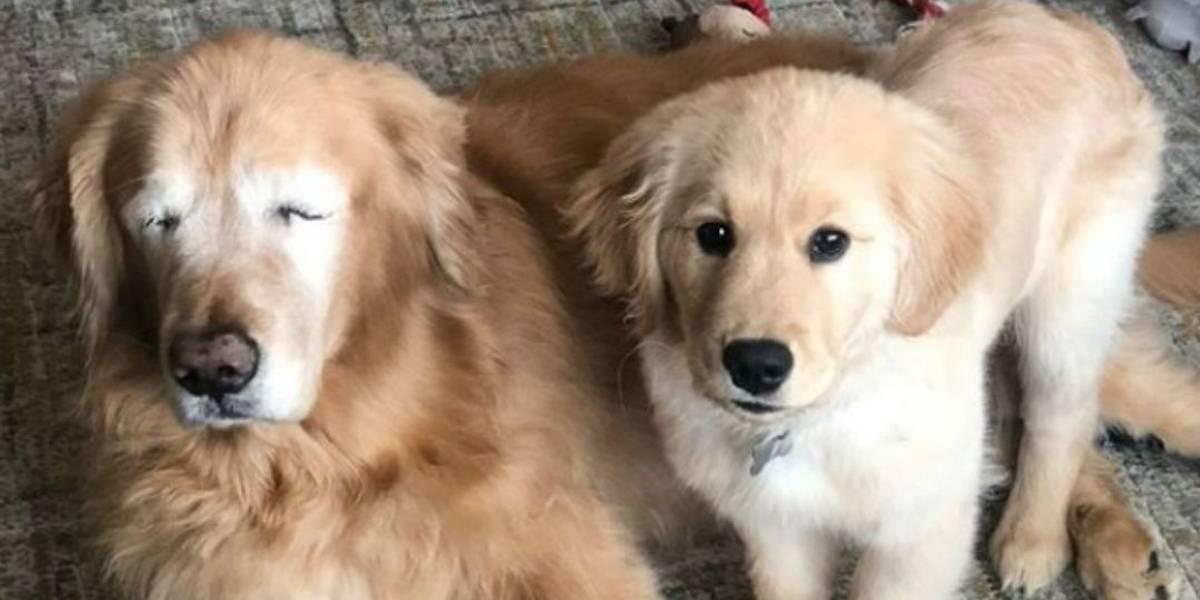 Filhote vira cão-guia de golden retriever que perdeu os olhos