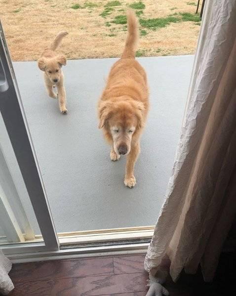Charlie e Maverick cão guia