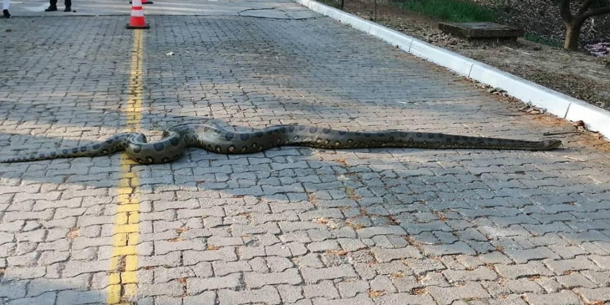 La mascota de la Universidad Nacional que se pasea por una de sus sedes