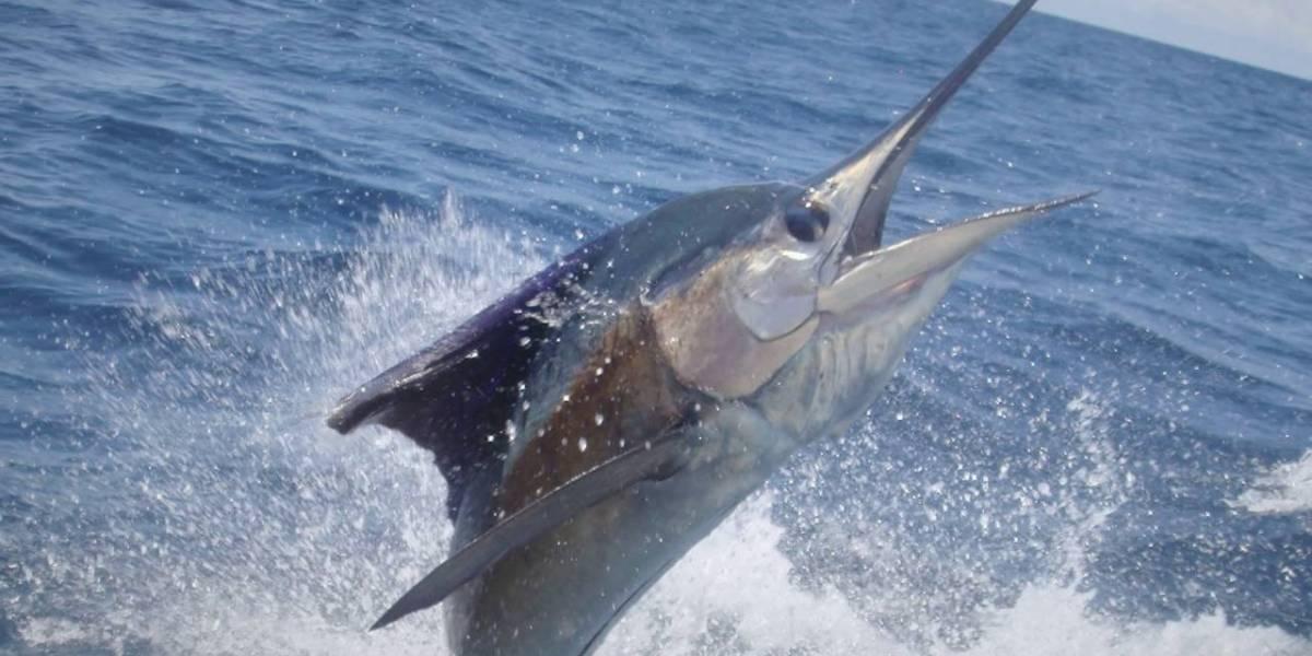 Nombran pez espada prehistórico en honor a Camilo Catrillanca