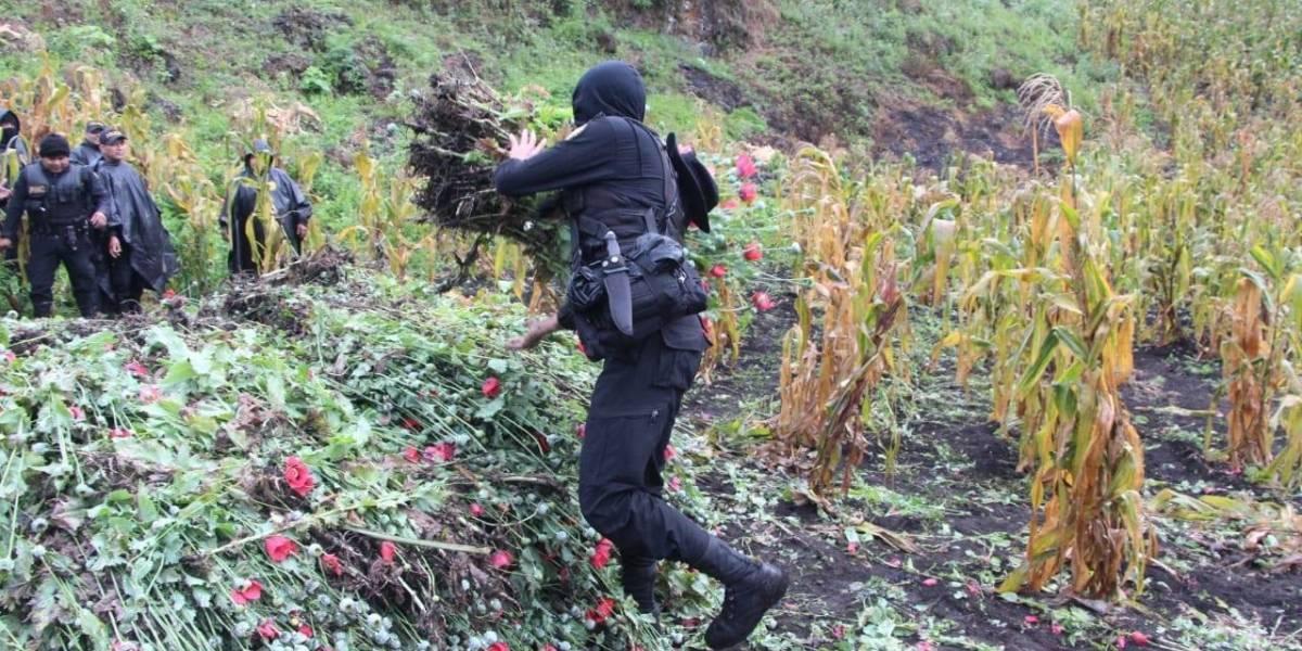 Destruyen miles de matas de amapola y marihuana en Alta Verapaz