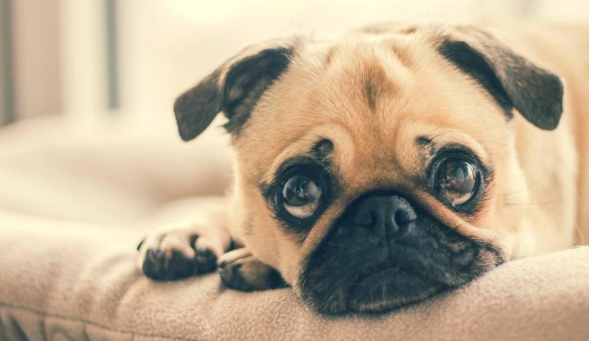 Los perros podrían portar un virus muy peligroso para los seres humanos