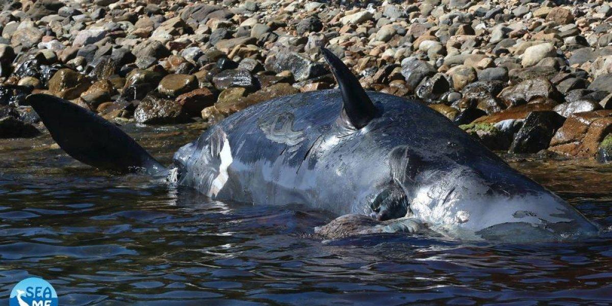 """""""El feto estaba en un estado avanzado de descomposición"""": ballena preñada muere en costas italianas y le encuentran 22 kilos de plástico en el estómago"""