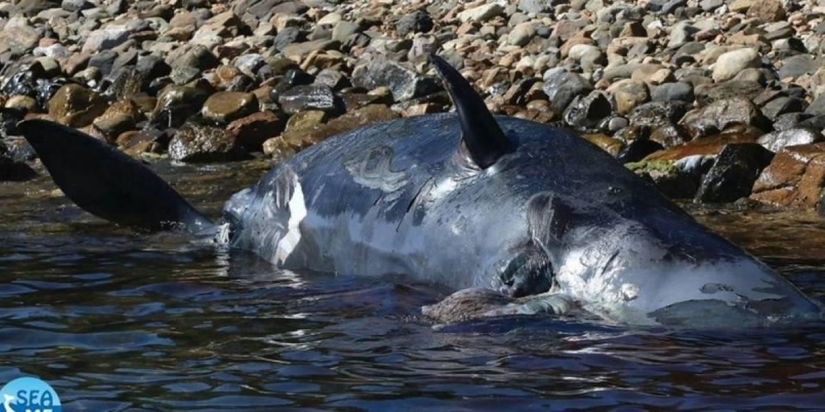Aparece otra ballena muerta llena de plástico