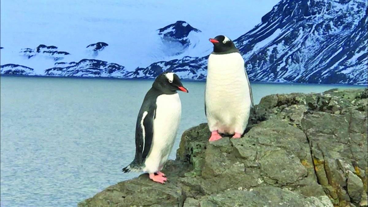 Os simpáticos pinguins, espécie comum da região Henrique Pereira/Band