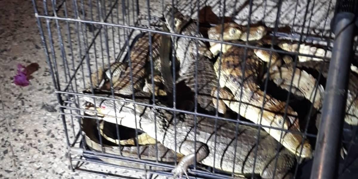 Hallan cinco caimanes en un carro en Ponce