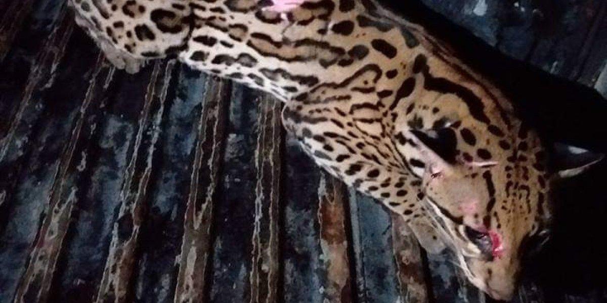 Rescatan a tigrillo en Naranjito, Guayas