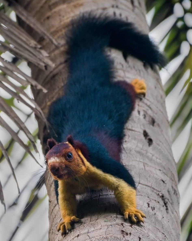ardilla gigante multicolor