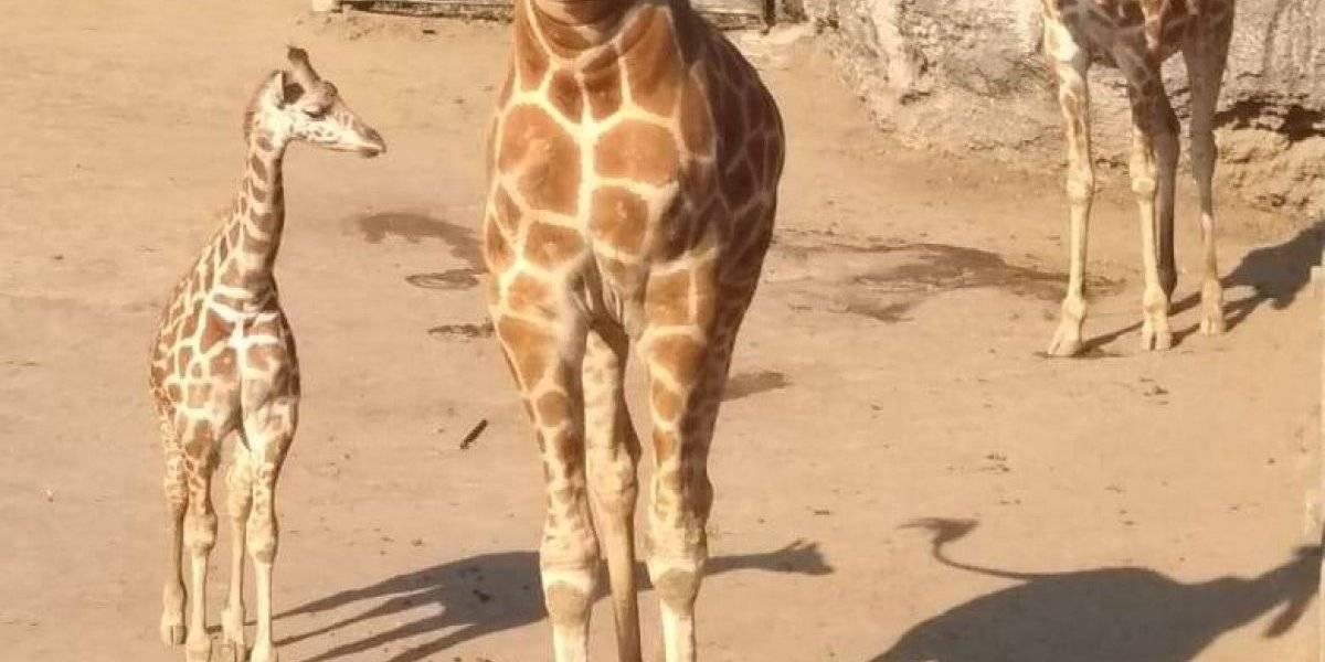 Zoológico de Chapultepec pide ayuda para nombrar a jirafa