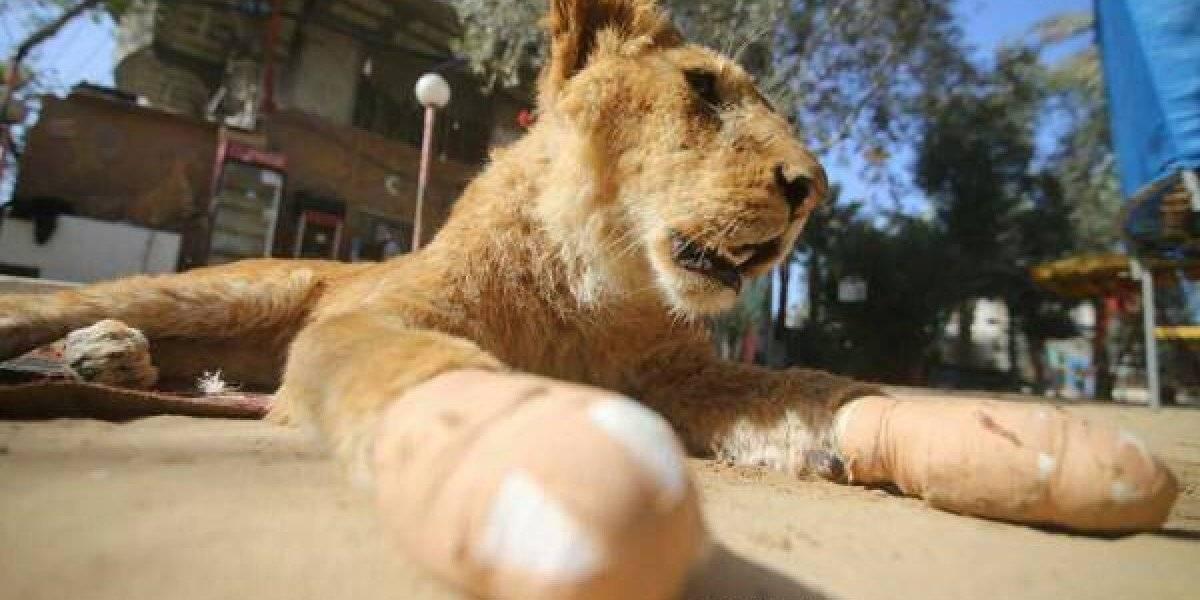 Brutal caso de maltrato animal indigna al mundo: le extirparon las garras a una leona para que pueda jugar con los visitantes de zoológico