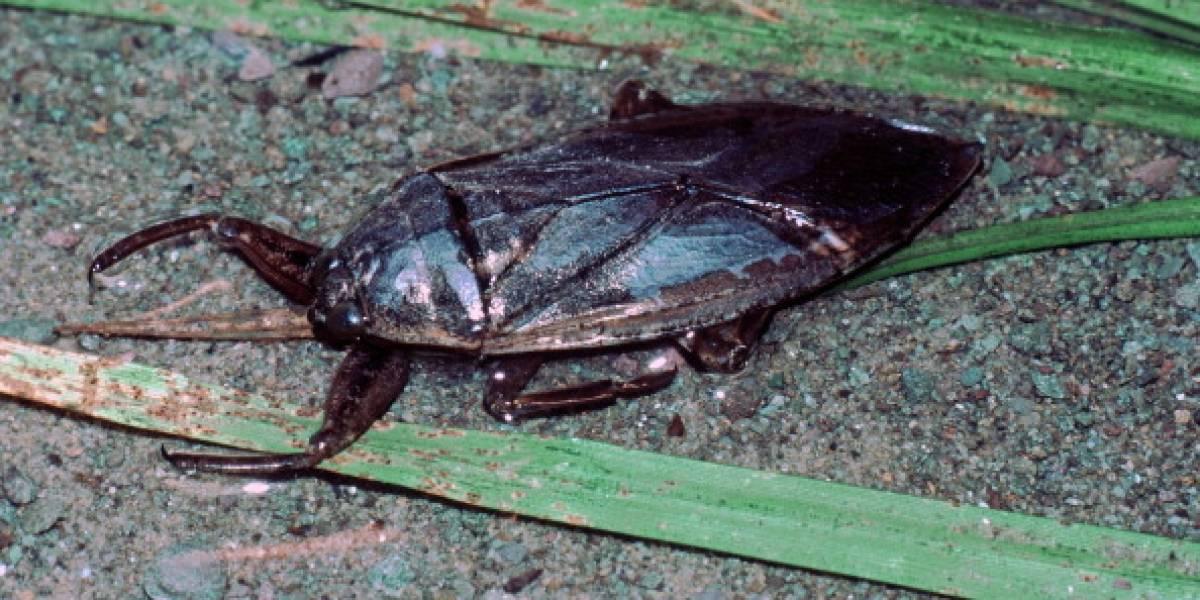 Se devora y tortura a patos, tortugas y serpientes: así es el aterrador insecto vampiro que mide apenas 10 centímetros y que siembra el pánico en el mar