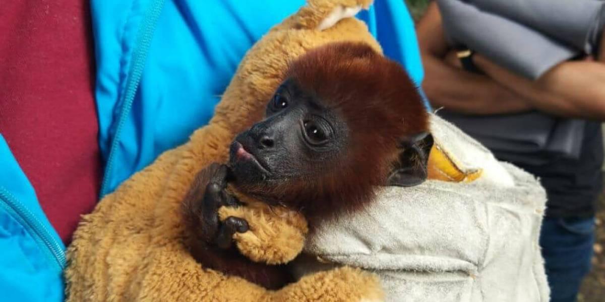 Encuentran a un mono aullador dentro de casa en el norte de Bogotá