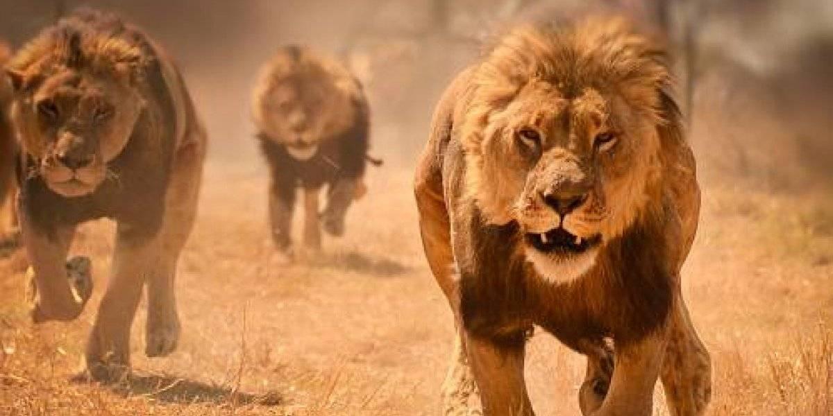 Elefante mata a cazador y su cuerpo es devorado por leones