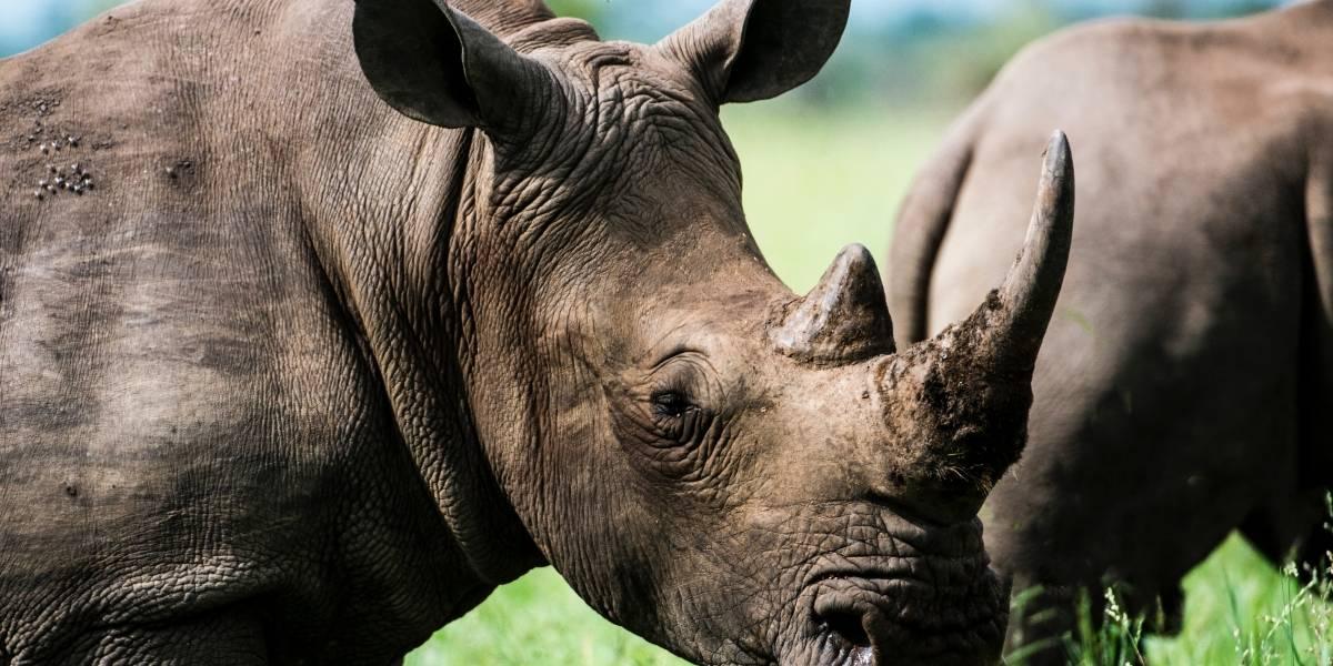 Hong Kong realiza una de las mayores incautaciones de cuernos de rinoceronte en su historia