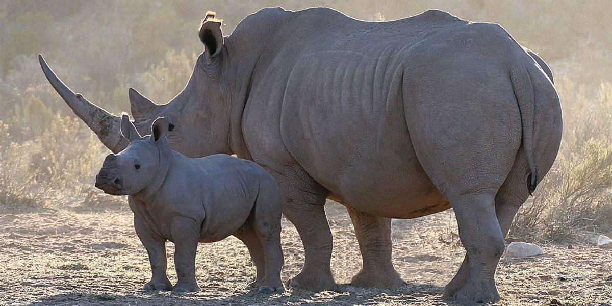Foi caçar rinocerontes e acabou pisoteado por elefantes e devorado por leões