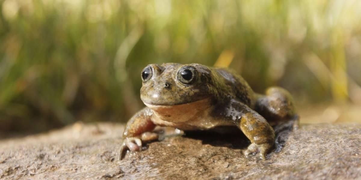 Perú está haciendo jugos con una especie de rana en peligro de extinción