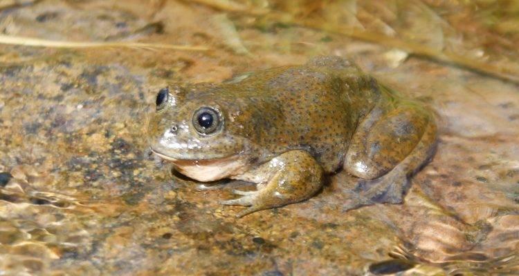 Perú rana