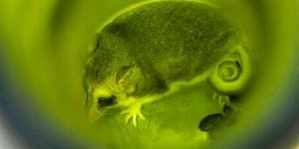 En redes sociales denuncian foto de marsupial chileno que vive dentro de una botella de vino