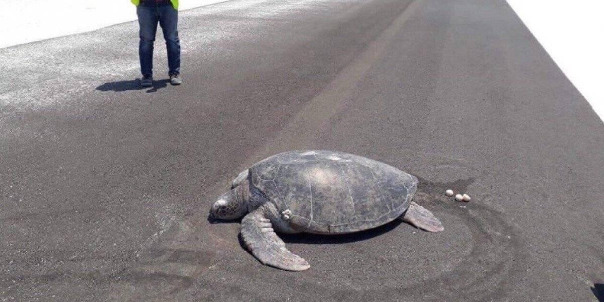 Maldivas: Tortuga en peligro de extinción desova en plena pista de aeropuerto