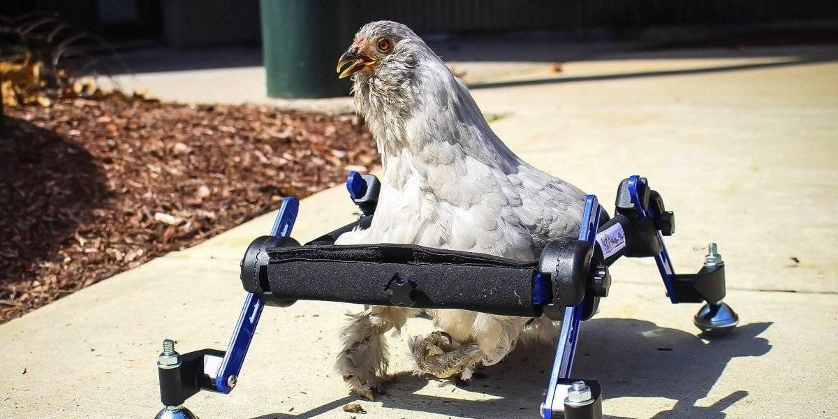 Niña defiende su gallina en silla de ruedas tras burlas de programa de televisión