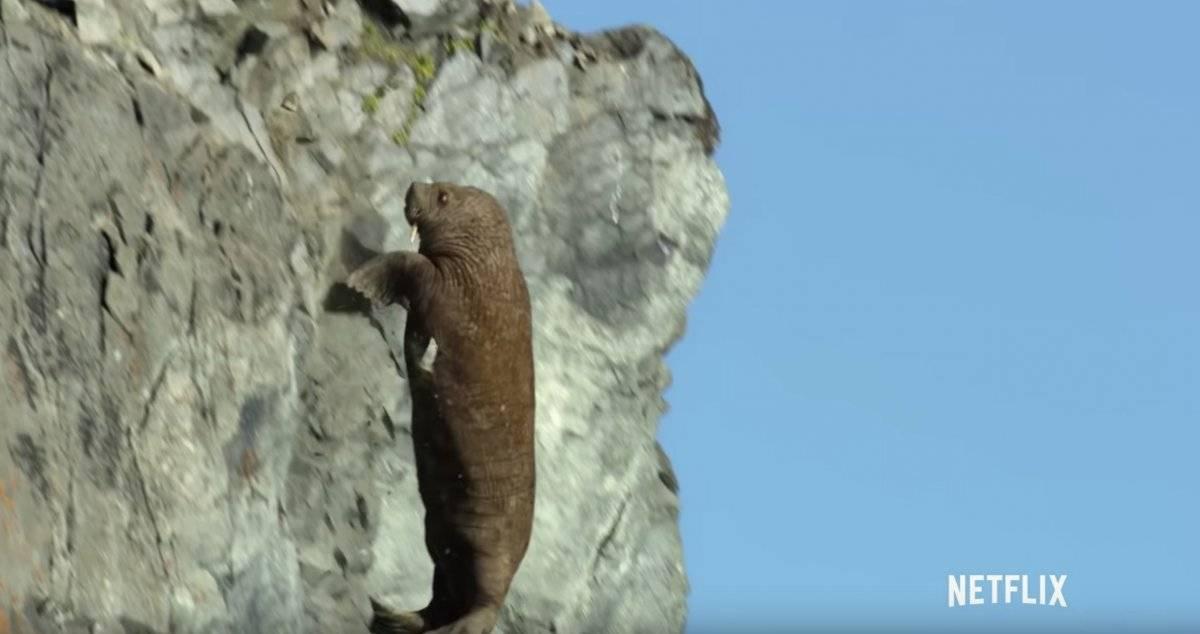 """El equipo del documental de Netflix """"Our Planet"""" captó el momento en que decenas de morsas rusas, en un acto suicida, se lanzaron desde un acantilado."""
