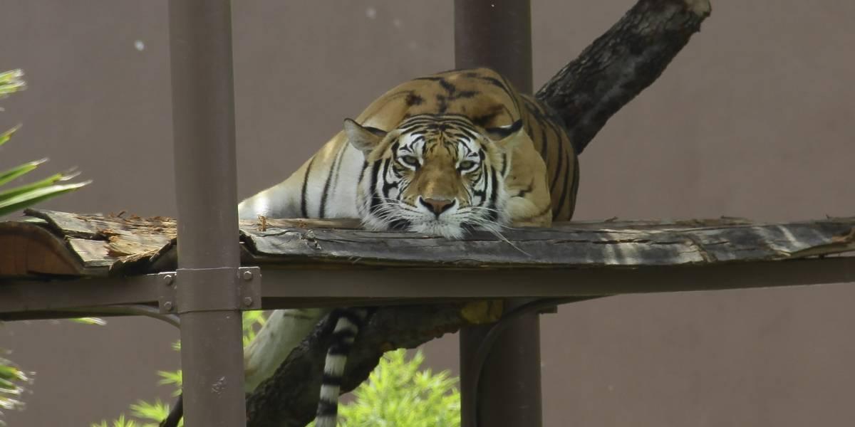 Muere tigre de Bengala en el zoológico de San Juan de Aragón