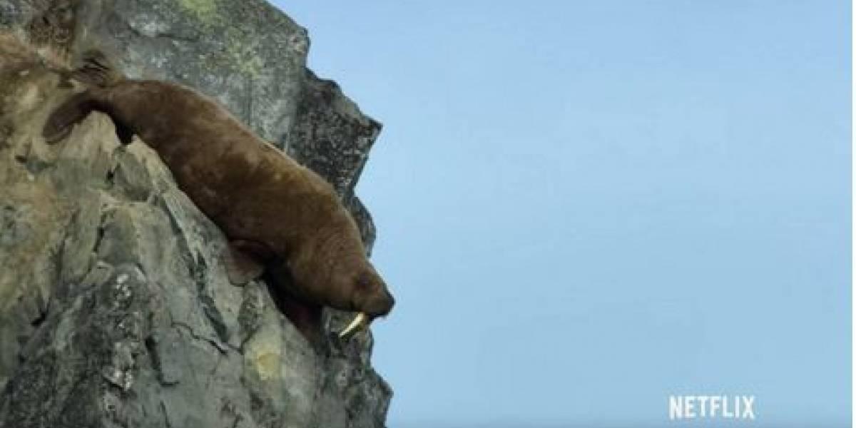 Captan aterrador momento en que morsas se lanzan al vacío desde acantilado