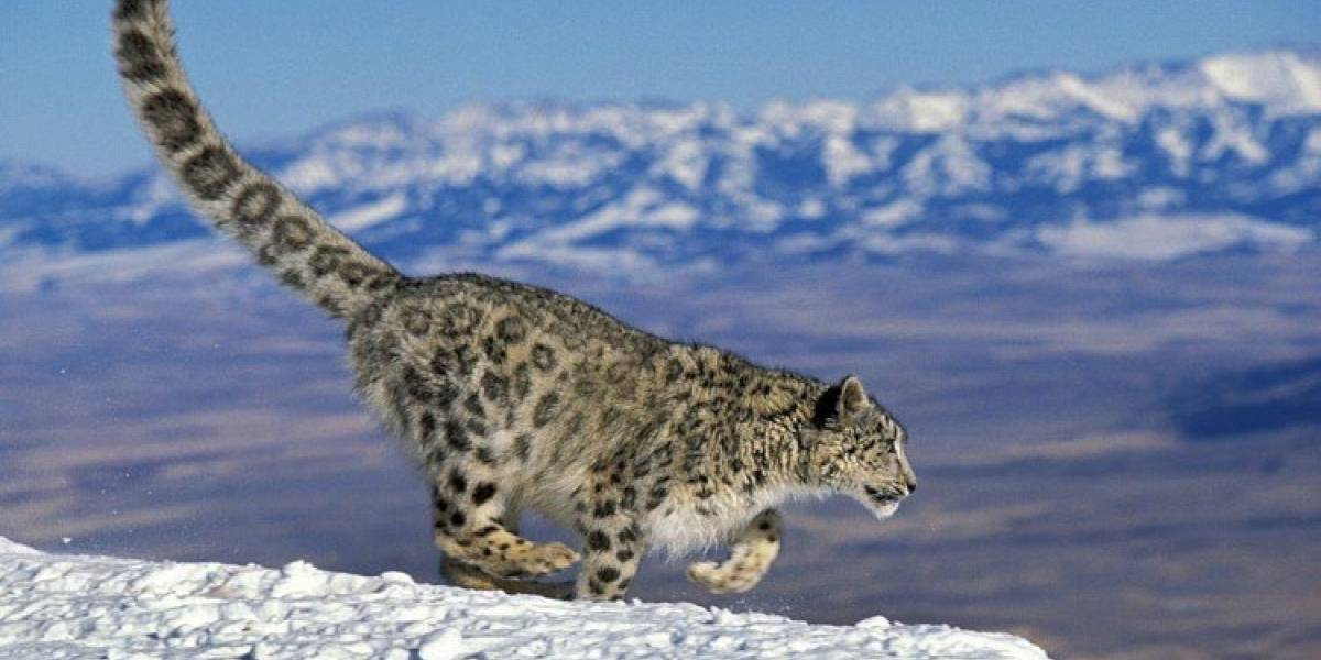 Nuevo reto viral te invita a encontrar un leopardo de las nieves camuflado