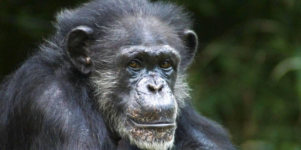 Muere chimpancé en zoológico de Carolina del Norte a los 46 años
