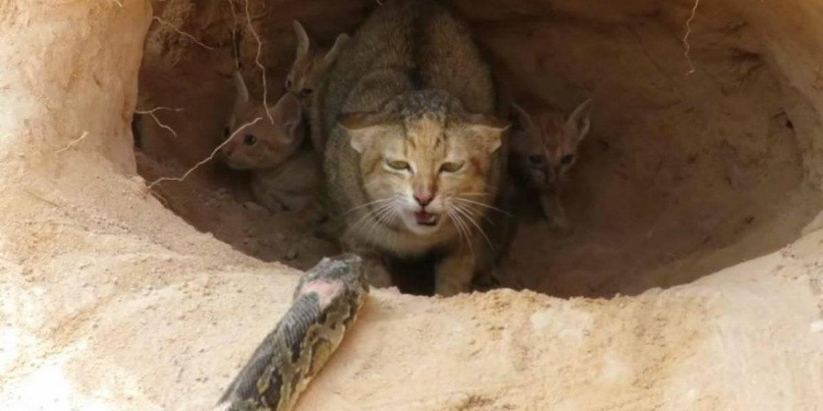 Vídeo de gata defendendo filhotes do ataque de píton causa polêmica no YouTube