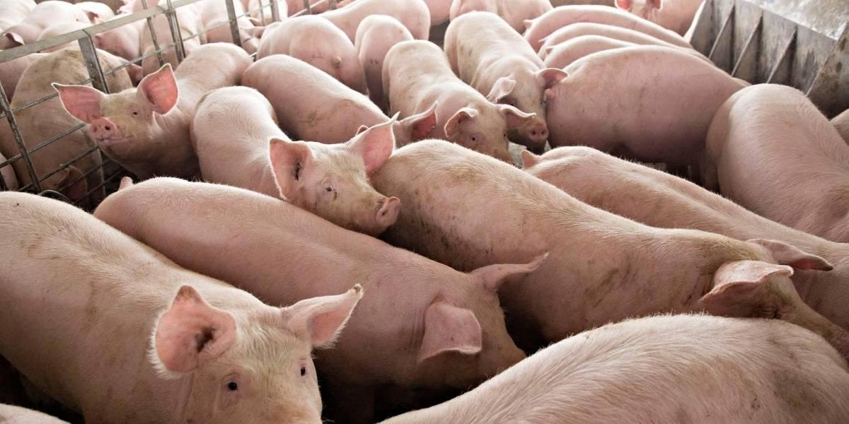 Cientistas revivem cérebro de porco decapitado