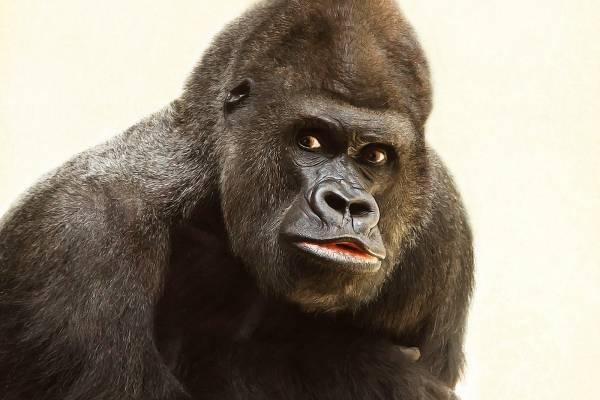 92a7d545d1bb FOTO  gorilas que posan como humanos se convierten en la sensación de  Internet