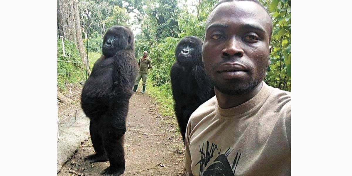 Gorilas ficam de pé e fazem pose para selfie em parque
