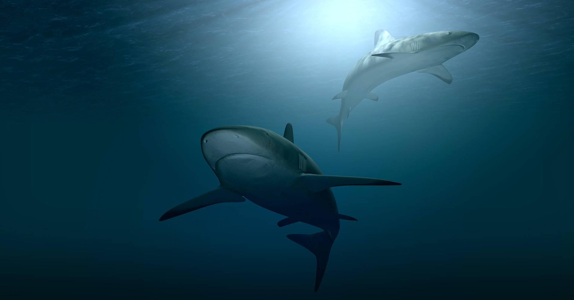Estos animales son los mayores terrores de los tiburones blancos