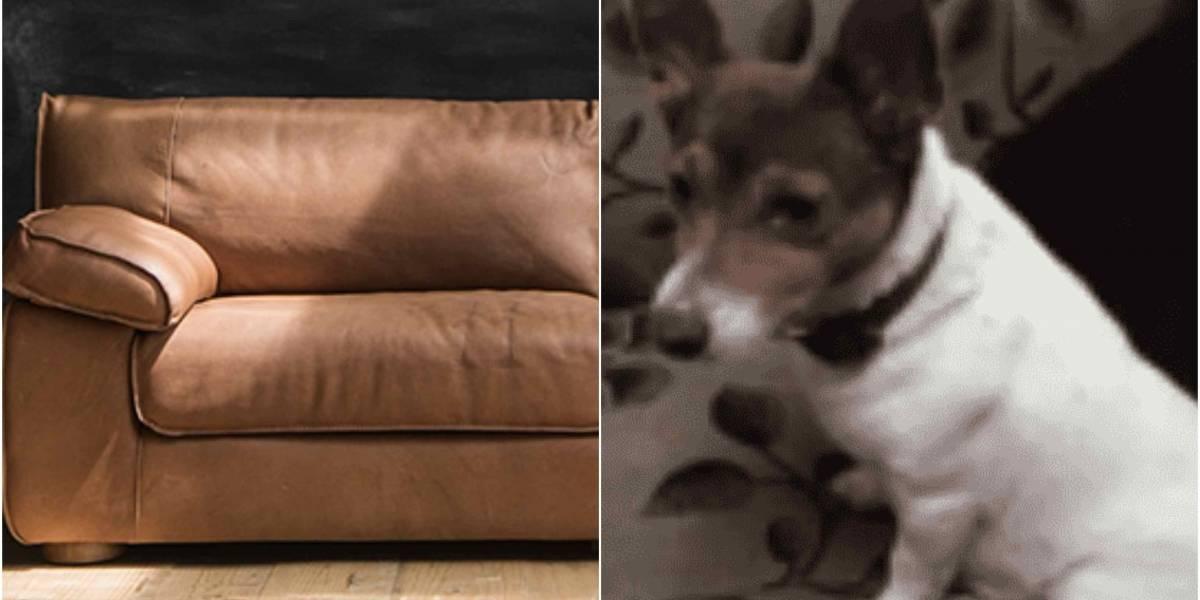Familia puso a la venta a su perrita porque compró muebles nuevos y no quieren que los dañe