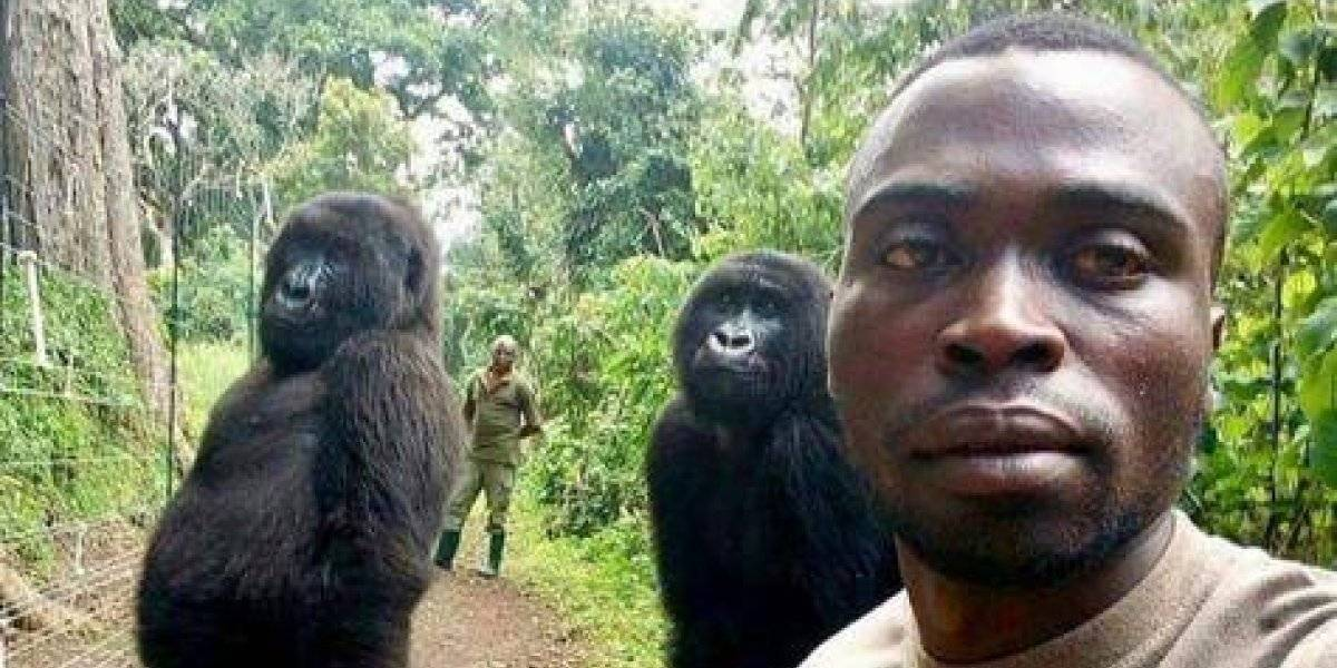 Gorilas posan como humanos para selfie