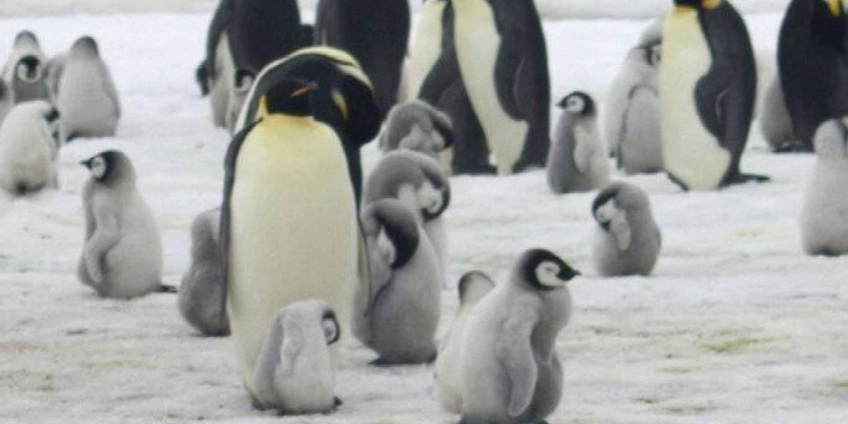 Cada vez nacen menos pingüinos emperador en la Antártida