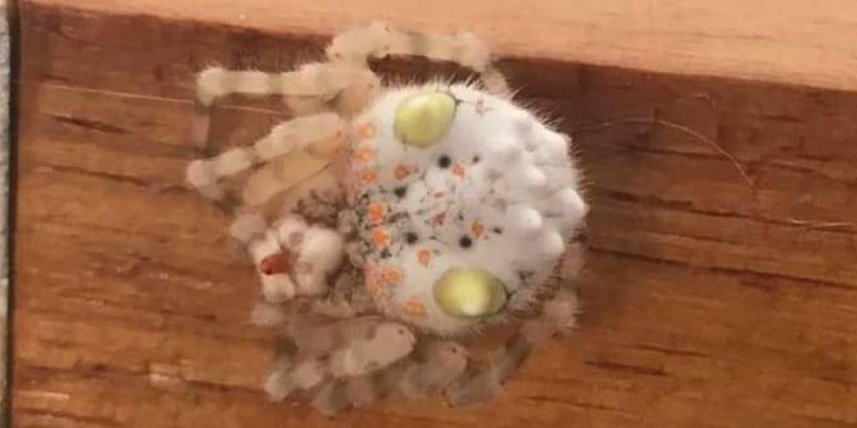 """""""Yo quemaría mi casa entera si aparece acá"""": hombre encuentra espeluznante araña con forma de sushi y horroriza a las redes sociales"""