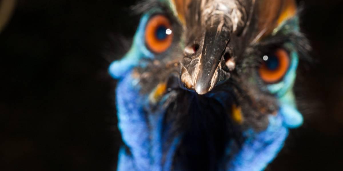 """En venta el pájaro """"más peligroso del mundo"""" que mató a su dueño"""
