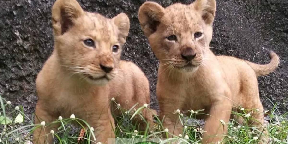 Nacen dos leones en zoológico de Mayagüez