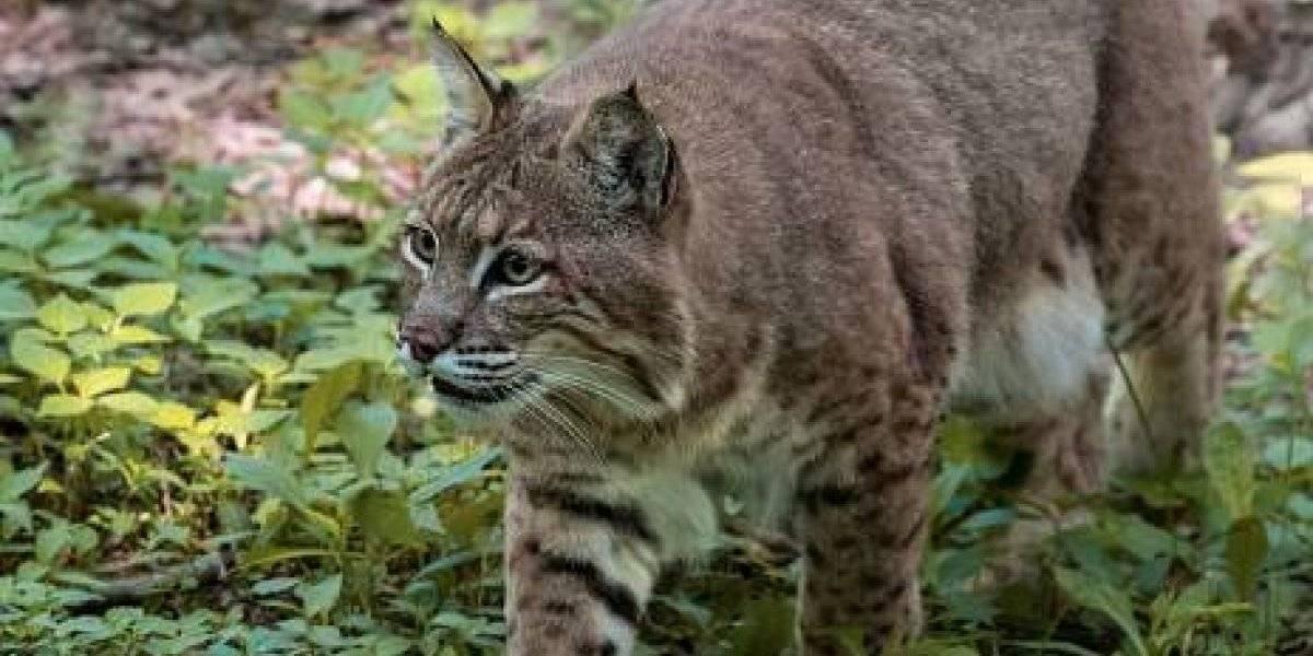 Polémico plan de autoridades australianas para exterminar a miles de gatos salvajes