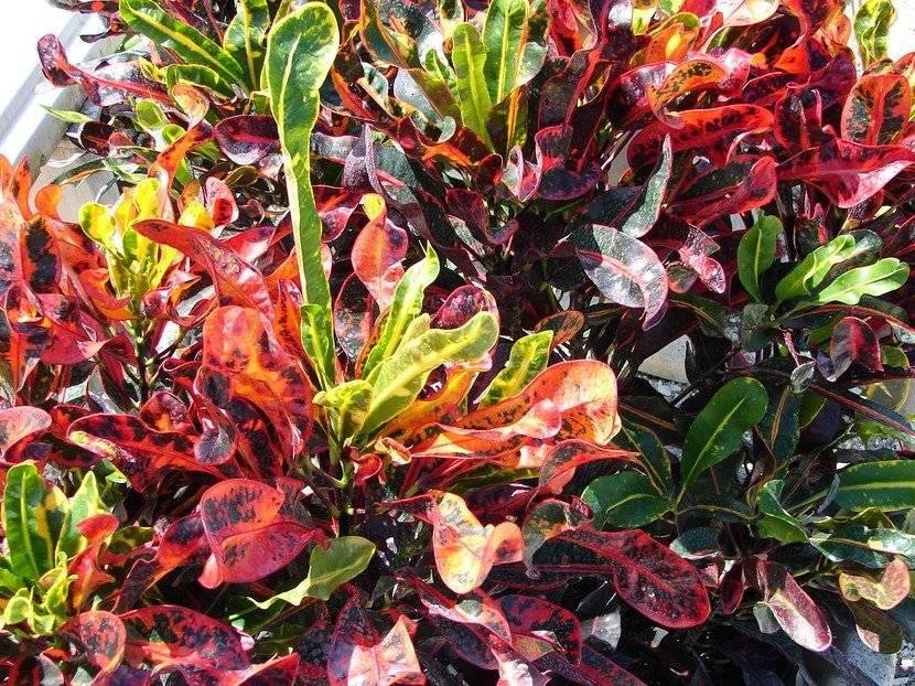 Planta croton
