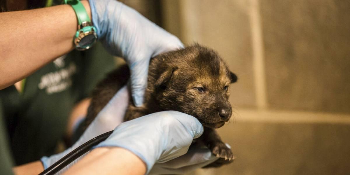 Nacen cuatro cachorros de lobo pelirrojo en Chicago