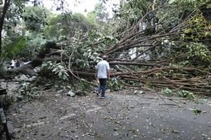 Caída de árbol en la Roma