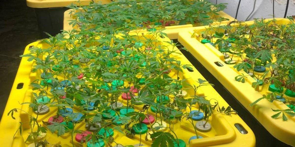 Hallan sofisticado invernadero de marihuana en Edomex